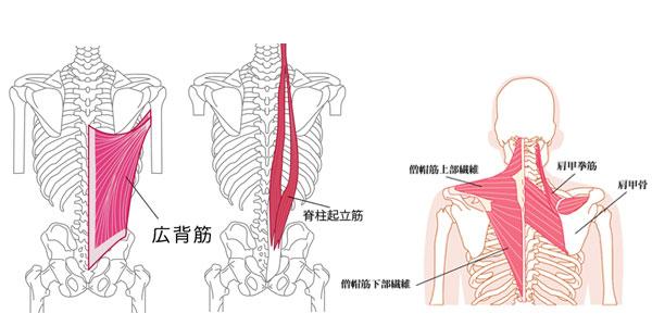 背中のストレッチでほぐすべき筋肉の僧帽筋・広背筋・脊柱起立筋を図解
