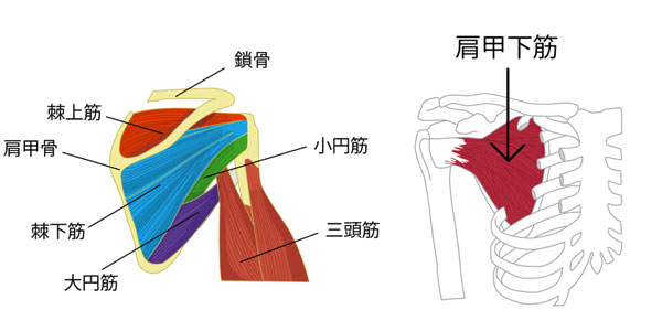 肩のインナーマッスルである、棘上筋・大円筋・小円筋・肩甲下筋の図解