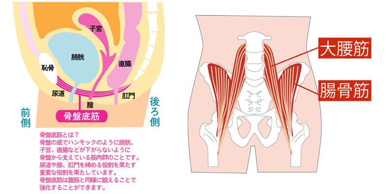 骨盤周辺の筋肉である骨盤底筋群と腸腰筋(大腰筋・腸骨筋)