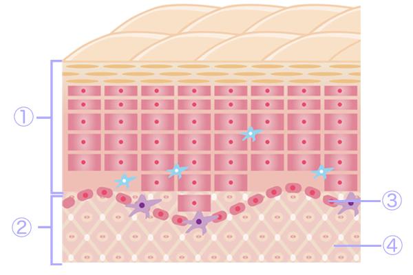 皮膚の図解と真皮と表皮とは?