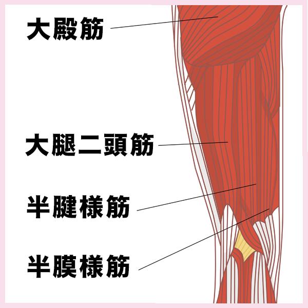 ハムストリングスの筋肉図(大腿二頭筋、半膜様筋、半腱様筋)