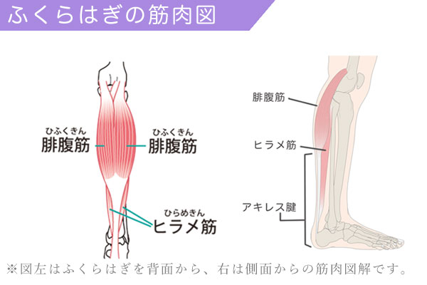 ふくらはぎの筋肉:腓腹筋とヒラメ筋の解説図解