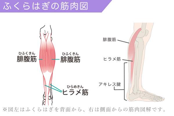ふくらはぎの筋肉である腓腹筋とヒラメ筋を図解