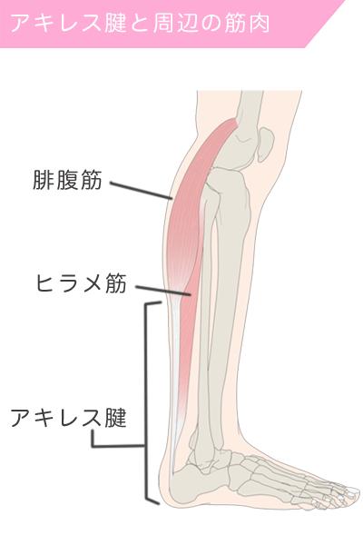 下腿三頭筋(ヒラメ筋・腓腹筋)とアキレス腱