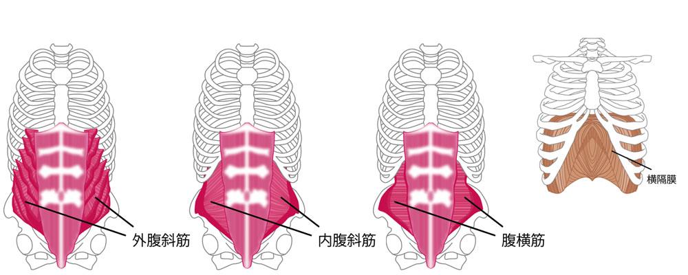 腹部のインナーマッスルである外腹斜筋・内腹斜筋・腹横筋・横隔膜の図解