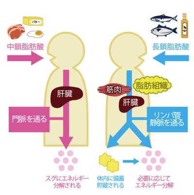 中鎖脂肪酸が脂肪になりにくい理由