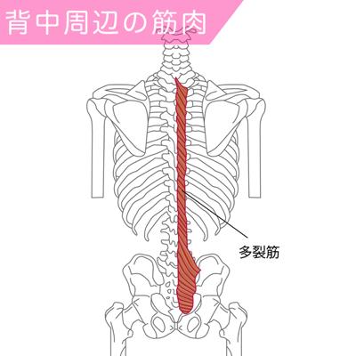 多裂筋の筋肉図