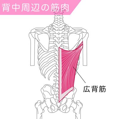 広背筋の筋肉図