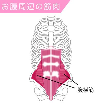 腹横筋の筋肉図
