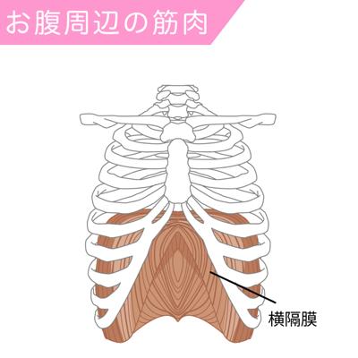 横隔膜の筋肉図