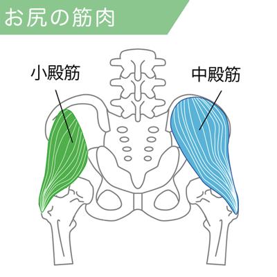中殿筋と小殿筋の筋肉図