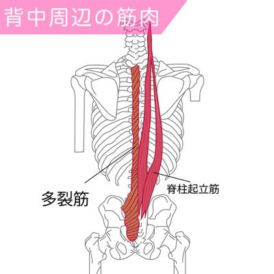 脊柱起立筋と多裂筋の筋肉図