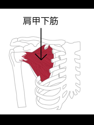 ローテーターカフ:肩甲下筋の図解