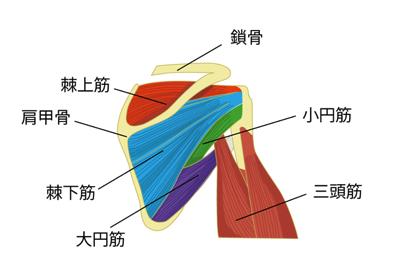 ローテーターカフ:棘上筋、棘下筋、小円筋の図解