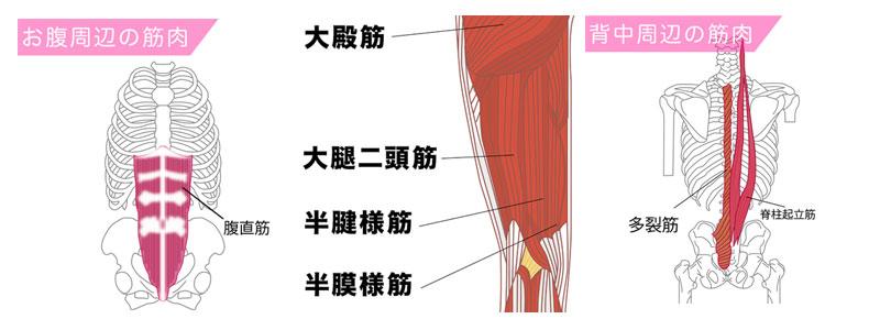 フロントブリッジで鍛えることができる腹直筋・大腿四頭筋・脊柱起立筋・前鋸筋・股関節の屈筋群の図解