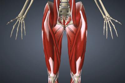 股関節周辺の筋肉(内転筋群、腸腰筋、梨状筋、大腿直筋、大腿筋膜張筋)