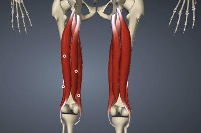 ハムストリングスの図解(大腿二頭筋,半腱様筋,半膜様筋)