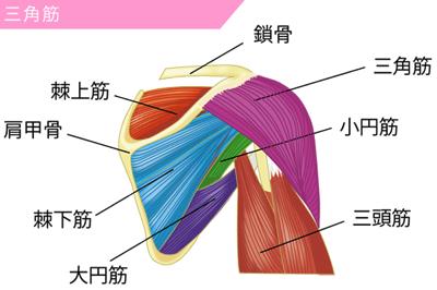 三角筋および周辺の肩の筋肉図解