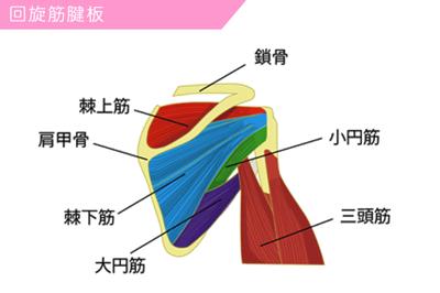 回旋筋腱板(ローテーター・カフ)と呼ばれる筋肉の図解