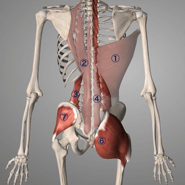 """""""広背筋、、脊柱起立筋、腰方形筋、腰多裂筋の筋肉図"""""""
