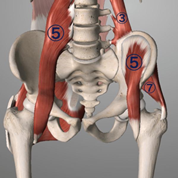 腸腰筋(大腰筋+腸骨筋)、大殿筋、中殿筋の筋肉図
