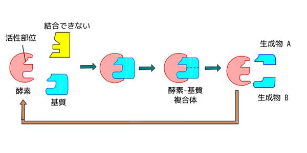 酵素基質特異性