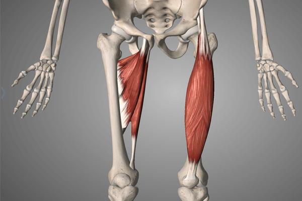 腰痛と関わりの深い筋肉:内転筋群