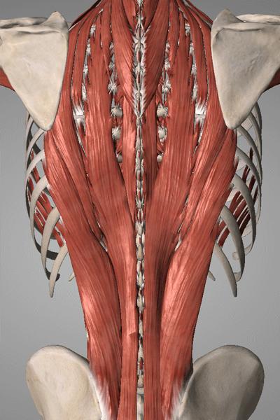 腰痛と関わりの深い筋肉:脊柱起立筋群