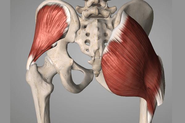 腰痛と関わりの深い筋肉:臀筋群